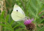 Cabbage White - Kentville Ravine, 2012-07-17