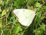 Pink-edged Sulphur - Pockwock, NS, 2012-07-12