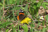 Red Admiral - Waverley, NS, 2012-05-12