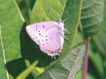 Acadian Hairstreak - Ward Pound Ridge, NY, June 28 1996