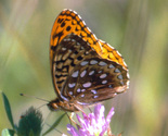 Aphrodite Fritillary - Meagher's Grant, NS, June 27 1999