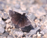 Dreamy Duskywing - Pockwock Road, NS, 2000-05-20