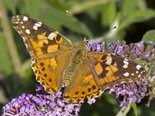 Painted Lady - Dartmouth, NS, 2012-08-27