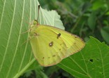 Clouded Sulphur - Kentville Ravine, NS, 2012-07-17