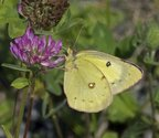 Orange Sulphur - Terence Bay River, 2012-08-30