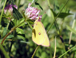 Pink-edged Sulphur - Pockwock Road, NS, 2012-07-04