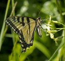Canadian Tiger Swallowtail - nr. Malagash Pt., NS, 2011-07-07