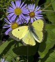 Clouded Sulphur - Roaches Pond Park, NS, 2012-09-27