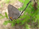Gray Hairstreak - Tabusintac Hill, NB, 2010-06-11