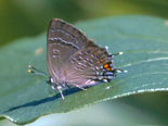 Banded Hairstreak - Armdale, NS, 1999-07-20