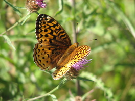 [Great Spangled Fritillary image]