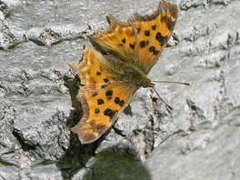 [Satyr Comma image]