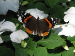 Red Admiral - Waverley, NS, 2012-08-03