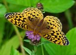 Great Spangled Fritillary - Conrad's Beach, NS, 2008-07-30