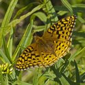 Aphrodite Fritillary - East Folly Mtn. Rd., 2012-08-27
