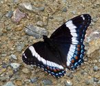 White Admiral - Pockwock Road, NS, 2009-07-05