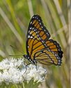 Viceroy - East Folly Mtn. Rd., 2012-08-27