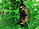 Silvery Checkerspot - Irishtown Park, NB, 2009-06-18