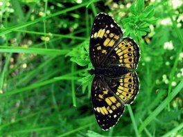 [Silvery Checkerspot image]