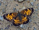 Harris's Checkerspot - Pockwock Road, NS, 2009-07-05