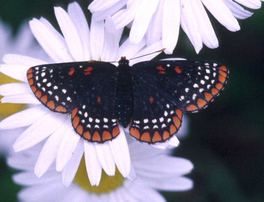 [Baltimore Checkerspot image]