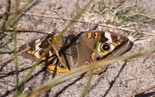 Common Buckeye - Brier Island, NS, 2012-09-17