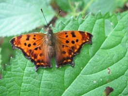 [Eastern Comma image]