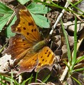 Grey Comma - Spryfield, NS, 2010-05-18