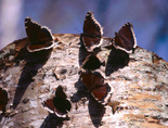Mourning Cloak - Waverley, NS, 2001-04-21