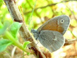 [Common Ringlet image]