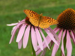 Aphrodite Fritillary - Apple River, NS, 2012-08-18