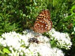 Great Spangled Fritillary - White Point, NS, 2009-08-15