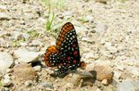 Baltimore Checkerspot - Babbitt's Meadow, NB, 2008-07-02