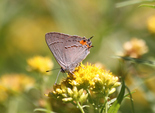 Gray Hairstreak - River Bourgeois, NS, 2012-08-26