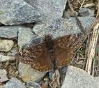Juvenal's Duskywing - Spryfield, NS, 2010-05-26