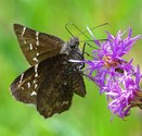 Northern Cloudywing - Smithville, TX, 2007-07-29