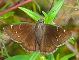 Northern Cloudywing - Smithville, TX, 2007-09-05