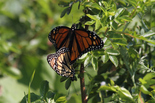 Monarch - River Bourgeois, NS, 2012-06-30