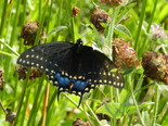 Black Swallowtail - Apple River, NS, 2012-09-22
