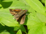 Tawny-edged Skipper - Apple River, NS, 2012-07-13