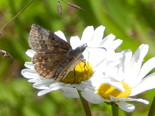 Dreamy Duskywing - Apple River, NS, 2012-06-18