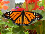 Monarch - Apple River, NS, 2012-08-20