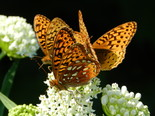 Great Spangled Fritillary - Apple River, NS, 2012-07-15