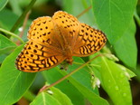Great Spangled Fritillary - Apple River, NS, 2012-07-05