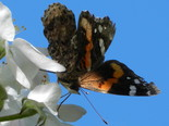 Red Admiral - Apple River, NS, 2012-05-27