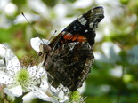 Red Admiral - West Apple River, NS, 2012-06-30