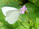 Mustard White - West Advocate, NS, 2012-07-06