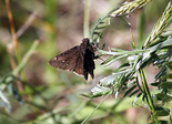 Northern Cloudywing - Coalburn, NS, 2012-06-12