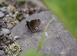 Northern Cloudywing - Avondale Stn, NS, 2012-06-13