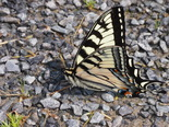 Canadian Tiger Swallowtail - Lower Sackville, NS, 2013-06-16